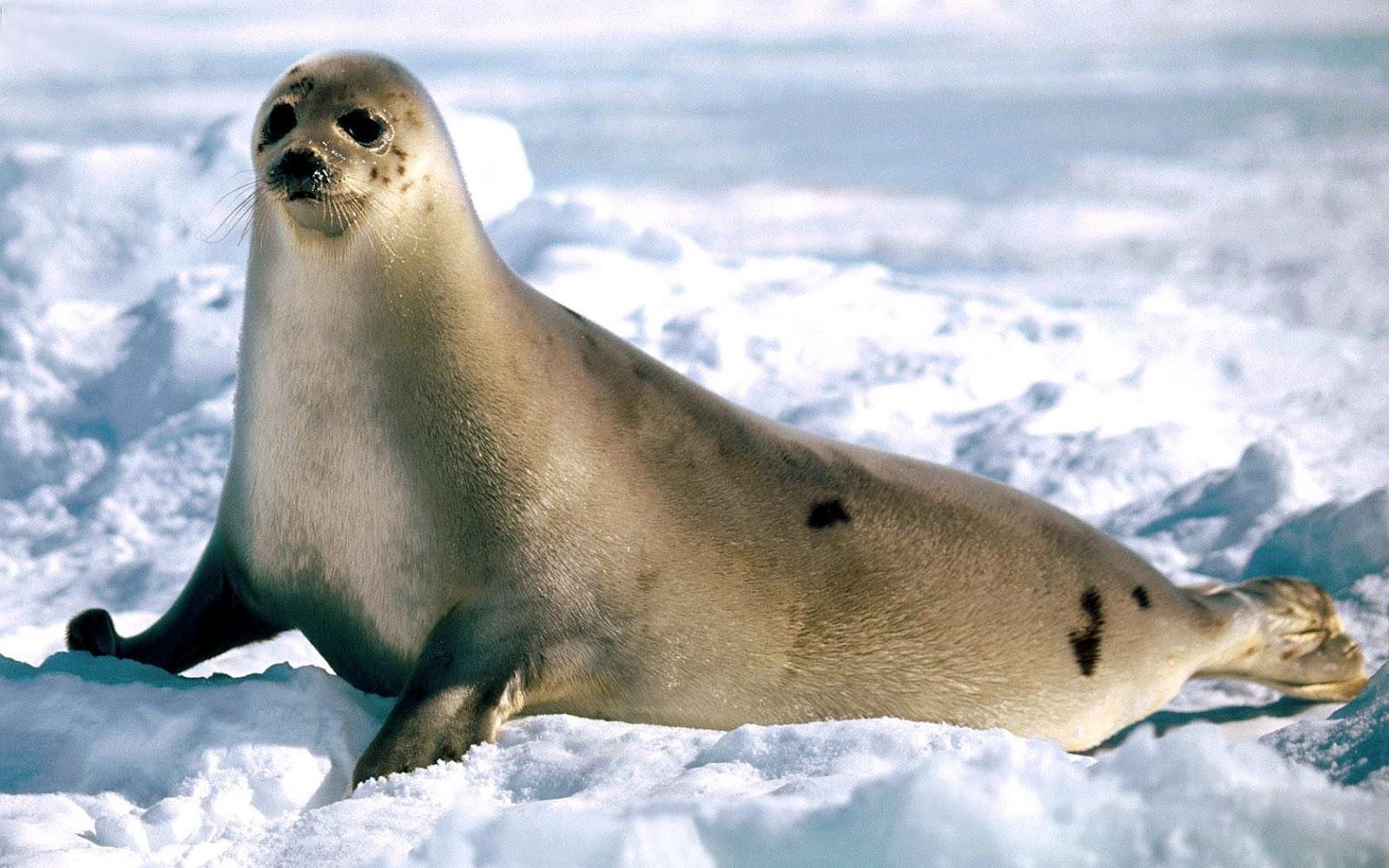 Тюлень и его мех